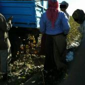 Принудительный труд на хлопковых полях должен быть прекращен