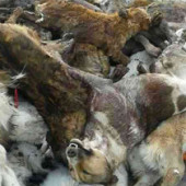 Mass Killing of Animals in Balkanabat before President's Arrival