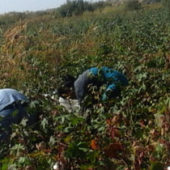 Turkmenistan kicks off mobilization of civil servants for cotton season