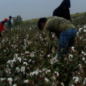 Turkmenistan Forces State Workers into New Cotton-picking Campaign