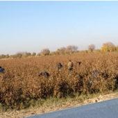 В Марыйской области на подбор хлопка отправили солдат